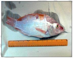 Исследование рыбы в лаборатории